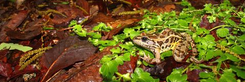 Pickerel Frog (Rana palustris) Royalty Free Stock Photo