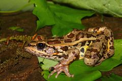 Pickerel Frog (Rana palustris) Stock Image