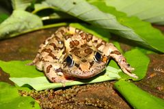 Pickerel Frog (Rana palustris) Royalty Free Stock Photography