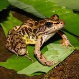 Pickerel Frog (Rana palustris) stock photo