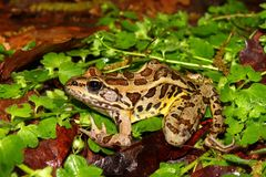 Pickerel Frog (Rana palustris) Stock Images