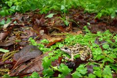 Pickerel Frog (Rana palustris) Stock Photos