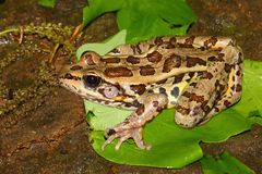 Pickerel Frog (Rana palustris) Stock Photography