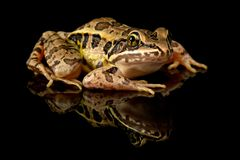 Pickerel Frog Studio Portrait stock photos
