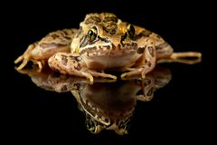 Pickerel Frog Studio Portrait royalty free stock photo