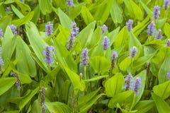 Pickerel weed background stock photo