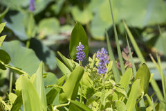 Pickerel Weed Pontederia cordata Stock Photo