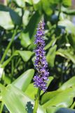 Pickerel weed Stock Photography