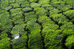 Pickers Harvesting Tea Leaves at Day Time Royalty Free Stock Images