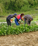 Pickers picking chard and put in a full basket Royalty Free Stock Photos