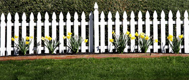 Picket Fence. A white picket fence with a row of daffodils Stock Photography