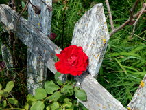 Picket fence rose. Red rose growing along an old white picket fence Stock Photo