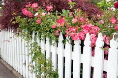 Picket fence with roses. White picket fence overgrown with pink rose bushes Stock Photos