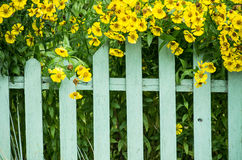 Picket fence and yellow flowers. Closeup of blooming yellow flowers on top of wooden picket fence Royalty Free Stock Photography