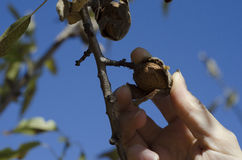 Picking Almond off Tree Stock Photography