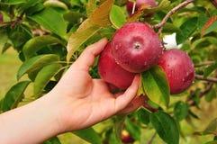 Picking an Apple Stock Image