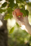 Picking Apple from Tree royalty free stock photography