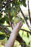Picking apple from tree Stock Photography