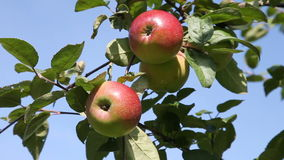 Picking apple from tree. Hand picking up ripen apples from the tree stock video footage
