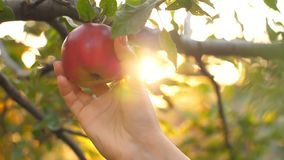 Picking an Apple. Woman in garden collects apples stock video