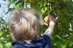 Picking apples Royalty Free Stock Image