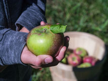 Picking apples in an apple orchard picking fruit Stock Photo