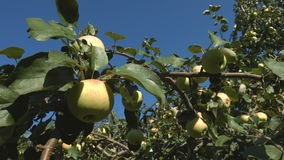 Picking Apples. 2 Shots. Slow motion. 1. Apple tree. Tree branch with apples close up stock video