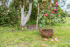 Picking apples Royalty Free Stock Photos