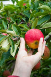 Picking apples. Woman picking apples Falstaff in orchard Stock Photography