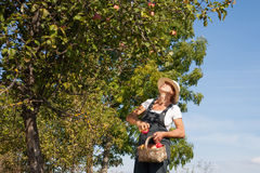 Picking of apples. Stock Photography