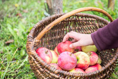 Picking apples Stock Image
