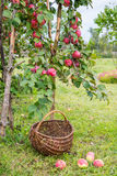 Picking apples Royalty Free Stock Photo