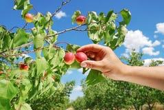 Picking Apricot Stock Photo
