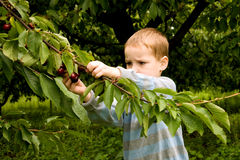 Picking berries Stock Images