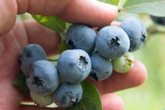 Picking berries of blueberry. Hand closeup. Stock Image