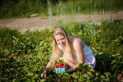 Picking Berries. Cute blonde girl picks fresh strawberries in the field on a farm in Upstate New York Royalty Free Stock Images