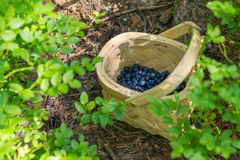 Picking berries in the forest on sunny summer day. Stock Photos
