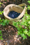 Picking berries in the forest on sunny summer day. Stock Image