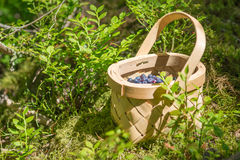 Picking berries in the forest on sunny summer day. Royalty Free Stock Photography