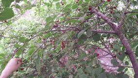 Picking berries stock video footage