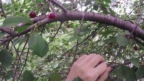 Picking berries stock footage
