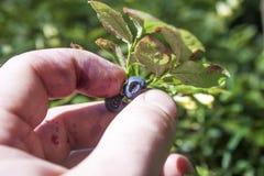 Picking bilberries. A hand picking blue bilberries, vaccinium myrtillus Stock Images