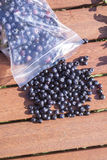 Picking bilberries. Vaccinium myrtillus, inside a plastic bag Royalty Free Stock Photography