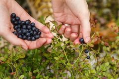 Picking bilberries Royalty Free Stock Images