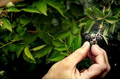Picking black raspberries Royalty Free Stock Photo