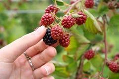 Picking blackberries on a farm Stock Photo