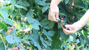 Picking blackberries stock footage