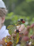 Picking Blackberries Royalty Free Stock Photography
