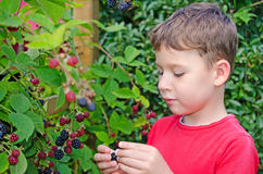 Picking blackberries. Little boy licking blackberries from the garden royalty free stock images