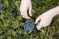 Picking blue berries. Womans hands picking blue berries with a bowl royalty free stock photography